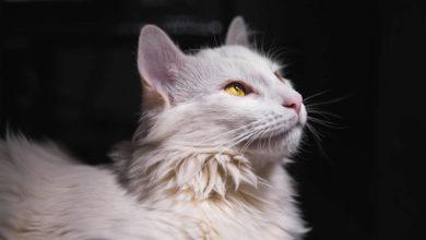 Cause e rimedi alla congiuntivite del gatto