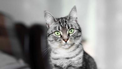 Come e quando fare il vaccino al gatto